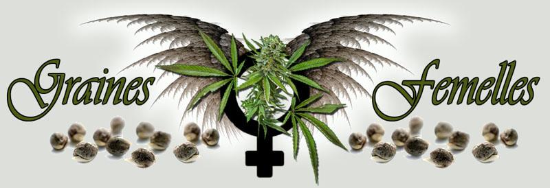 Graines femelles de cannabis for Graine de cannabis femelle interieur